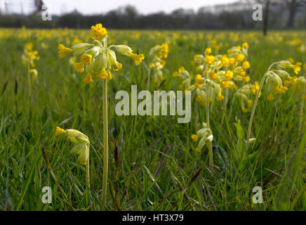 Cowslips, Primula veris, close-up of flowers growing in field. Taken April. Worcestershire, UK. - Stock Photo