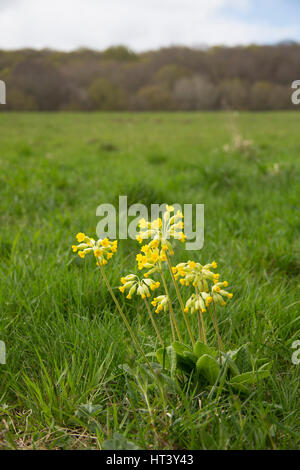 Cowslip, Primula veris, portrait of single flower growing in field. Taken April, Worcestershire, UK. - Stock Photo