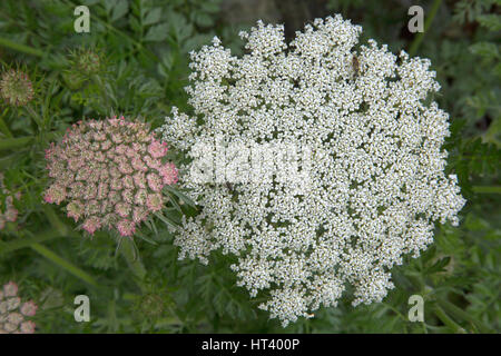 Sea Carrot, Daucus gingidium, close-up of flowering head. Mullion and Predannack Cliffs, The LIzard National Nature - Stock Photo