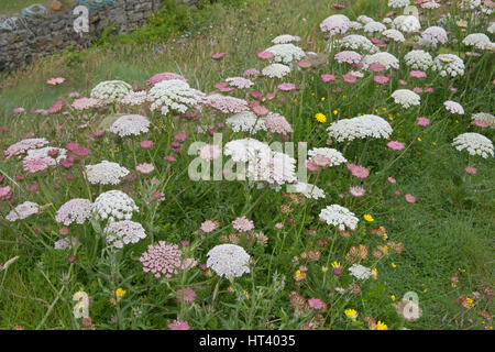 Sea Carrot, Daucus gingidium, Mullion and Predannack Cliffs, The LIzard National Nature Reserve, Cornwall, UK - Stock Photo