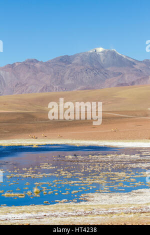 Vicuñas in Andean landscape, dotted with volcanos, salty lake in the foreground. Location: Between San Pedro de - Stock Photo