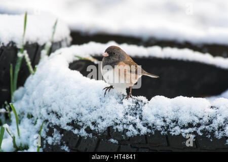 This Dark-eyed Junco, a small sparrow, perches on an old tire after a rare late winter snow in western washington. - Stock Photo