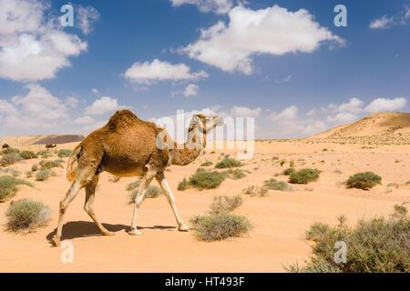 Dromedary camel walking in the desert, Wadi Draa, Tan- Tan, Moro - Stock Photo