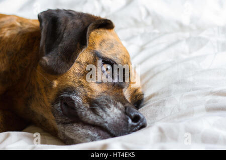 Cute Dog Lays on its side on Bed Reflecting thoughts - Stock Photo