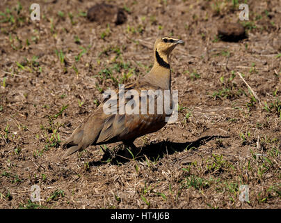 Male Yellow-throated Sandgrouse (Pterocles gutturalis) on parched ground in the Mara Conservancies, Greater Mara, - Stock Photo