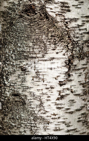 Birch tree trunk closeup of bark texture and detail. - Stock Photo