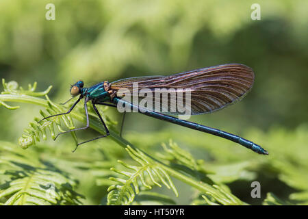 Demoiselle (Calopteryx virgo), immature male, on bracken frond, South Wales, United Kingdom - Stock Photo