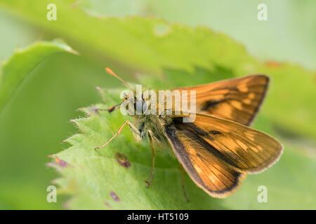 Large skipper (Ochlodes venatus) on a leaf, South Wales, United Kingdom - Stock Photo