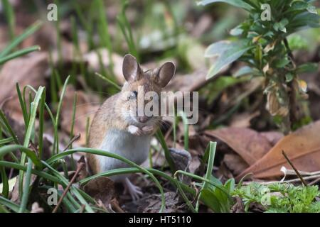 House mouse (Mus musculus) in meadow, Hesse, Germany - Stock Photo