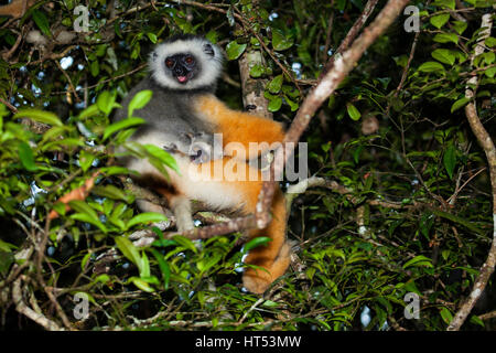 Lemur Diademed Sifaka (mother with young), Propithecus diadema, Andasibe – Mantadia National Park, Madagascar, by - Stock Photo