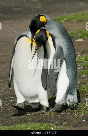 King Penguin, (Aptenodytes patagonicus) Volunteer Point, Falkland Islands, courting pair - Stock Photo