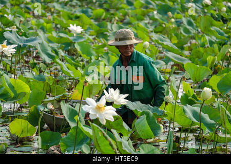 HO CHI MINH, VIET NAM - March 02, 2017. Unidentified man harvesting lotus flower in lake - Stock Photo