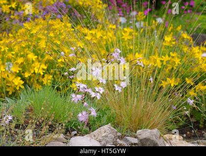 Olymp-Johanniskraut und Feder-Nelke - Hypericum olympicum and Dianthus plumarius, small wildflowers - Stock Photo