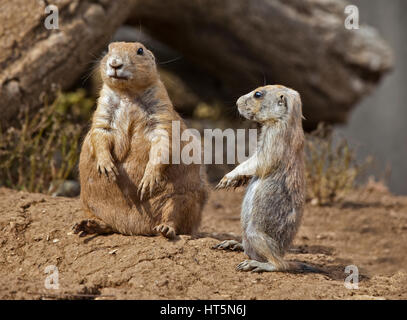 Two Black-Tailed Prairie Dogs (cynomys ludovicianus) adult and juvenile - Stock Photo