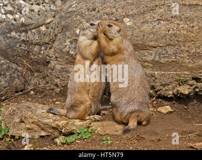Two Black-Tailed Prairie Dogs (cynomys ludovicianus) bonding - Stock Photo