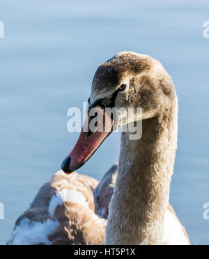 Mute Swan at Aldenham Country Park, Elstree, UK - Stock Photo