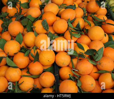 ripe oranges with leaf freshly picked during the harvest in the Mediterranean country - Stock Photo