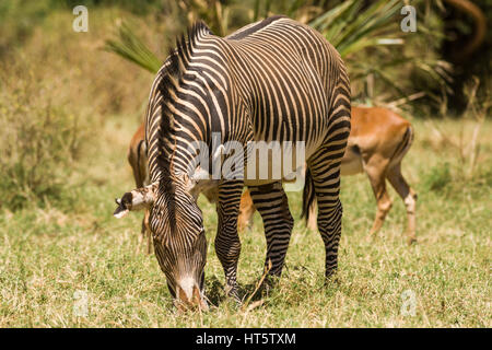 Grevy's Zebra (Equus grevyi) Grazing, Samburu - Stock Photo