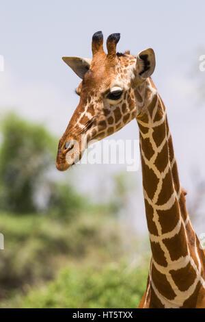 Portrait of a Reticulated giraffe (Giraffa camelopardalis reticulata), Samburu, Kenya