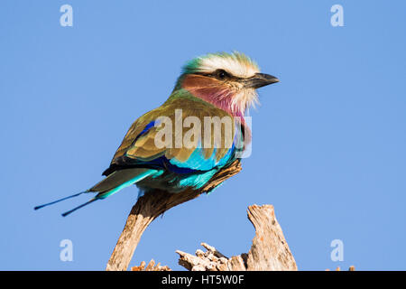 Lilac Breasted Roller perched on branch (Coracias caudatus), Kenya - Stock Photo