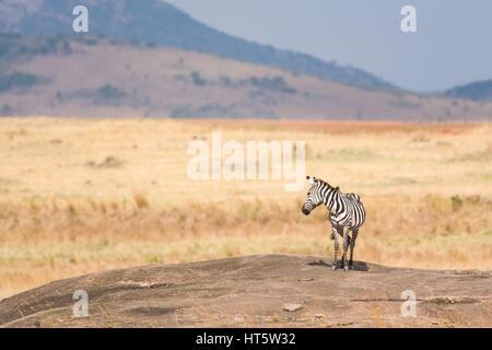 A single Plains Zebra (Equus quagga) standing on rocky outcrop with hills in background, Maasai Mara, Kenya - Stock Photo