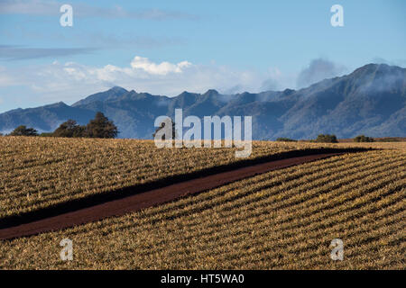 A view of rows of growing pineapple plants on Oahu. - Stock Photo