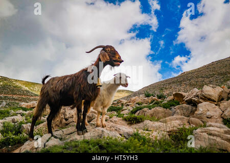 billy goat and nanny goat posing calling the herd - Stock Photo