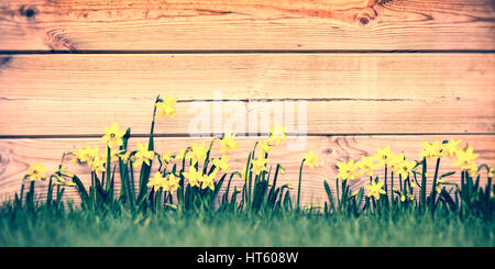 Daffodils in a garden, panoramic wood planks background - Stock Photo