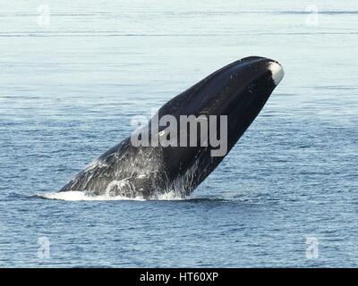 A bowhead whale breaches in arctic waters off the Bering Land Bridge National Preserve, Alaska. - Stock Photo