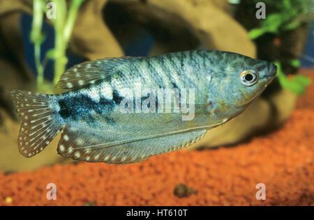 Marmorierter Fadenfisch, Zuchtform von Gepunkteter Fadenfisch, Punktierter Fadenfisch, Blauer Fadenfisch, Trichopodus - Stock Photo