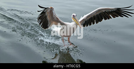 Great White Pelican landing on water with air brakes on - Stock Photo