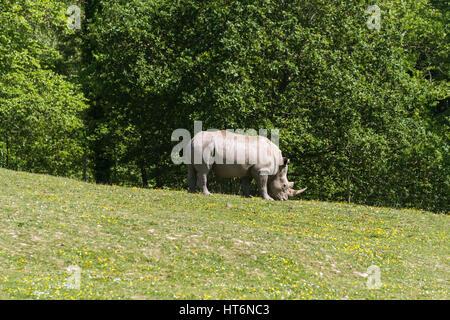 southern white square-lipped rhinoceros rhino - Stock Photo