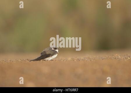 Alpine swift (Apus melba) resting. Oiseaux du Djoudj National Park. Saint-Louis. Senegal. - Stock Photo