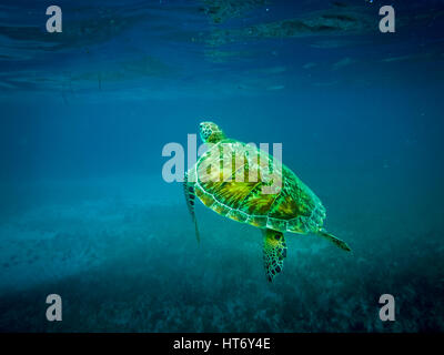 Sea turtle in caribbean sea - Caye Caulker, Belize - Stock Photo