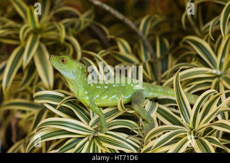 Plumed Basilisk, Green Basilisk, Double Crested Basilisk, Basiliscus plumifrons, always lives around water and can - Stock Photo