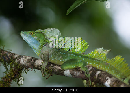 Plumed Basilisk, Green Basilisk, Double Crested Basilisk, Basiliscus plumifrons, is named after an ancient mythical - Stock Photo
