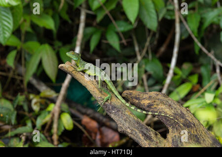 Plumed Basilisk, Green Basilisk, Double Crested Basilisk, Basiliscus plumifrons - Stock Photo