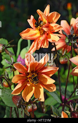Two of the bumblebee on two flowers are orange dwarf hydrangea closeup in the village of Vyritsa Sunny summer day. - Stock Photo