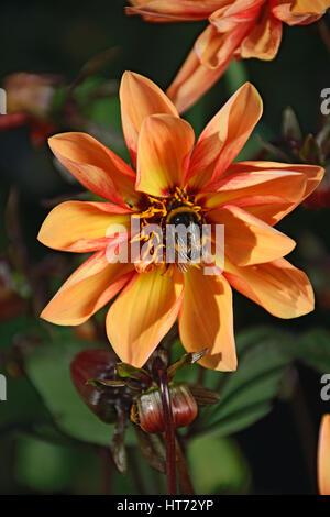 Bumblebee on flower orange dwarf Dahlia closeup in Vyritsa Sunny summer day. - Stock Photo