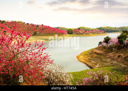 Peach orchard on the island, a red peach blossoms. - Stock Photo