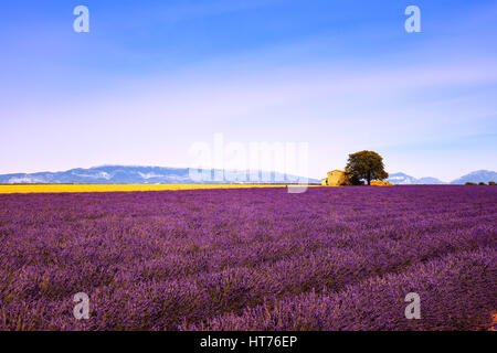 Lavender flowers blooming field, wheat, house and lonely tree. Panoramic view. Plateau de Valensole, Provence, France, - Stock Photo