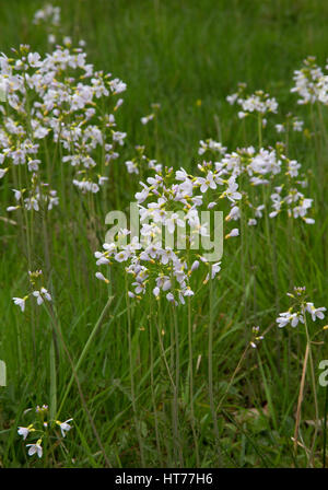 Cuckoo Flower or Lady's Smock, Cardamine pratensis, growing in field. Worcestershire, UK - Stock Photo