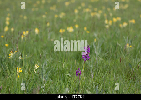 Green-winged Orchid, Anacamptis morio, single plant growing in field of Cowslips, Primula veris. Worcestershire, - Stock Photo