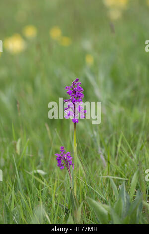 Green-winged Orchid, Anacamptis morio, portrait of single plant growing in field. Worcestershire, UK. - Stock Photo
