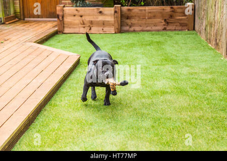 Black Staffordshire bull terrier dog running and playing on artificial grass by decking in a residential garden - Stock Photo