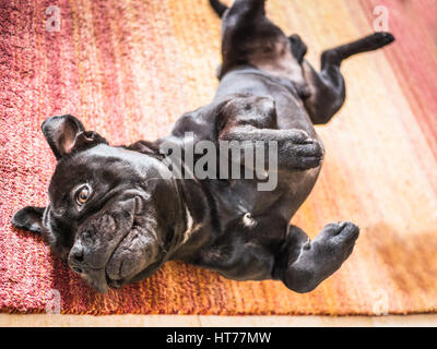 Staffordshire bull terrier dog lying on his back and side with his paws in the air after rolling and stretching - Stock Photo