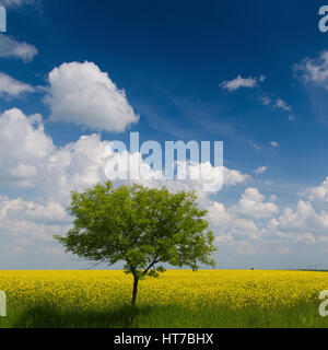 Springtime scenic of a tree in a rapeseed field - Stock Photo