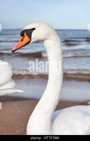 Portrait of a mute swan on a beach. - Stock Photo