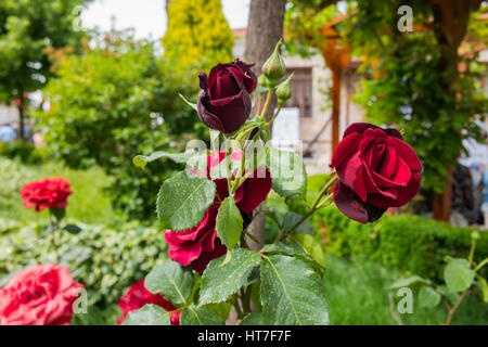 red roses in the garden - Stock Photo