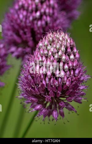 Allium Drumstick, also known as Sphaerocephalon, close up - Stock Photo